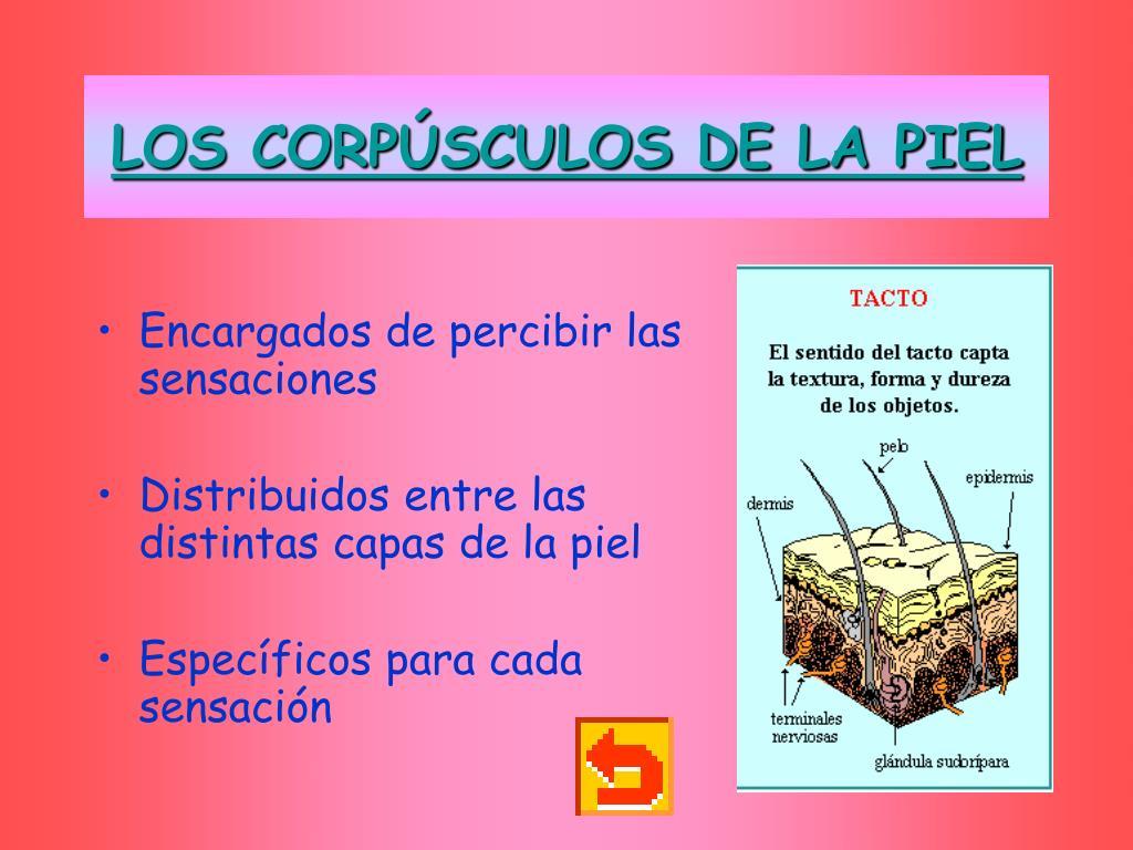 LOS CORPÚSCULOS DE LA PIEL