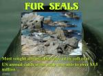 fur seals15