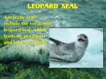 leopard seal12