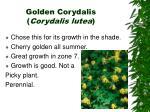 golden corydalis corydalis lutea
