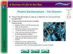 phylum bacillariophyta the diatoms