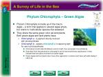 phylum chlorophyta green algae
