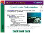 phylum dinophyta the dinoflagellates