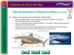 special attributes of sharks and rays continued