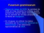 fusarium graminearum21