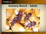 grainary weevil adults