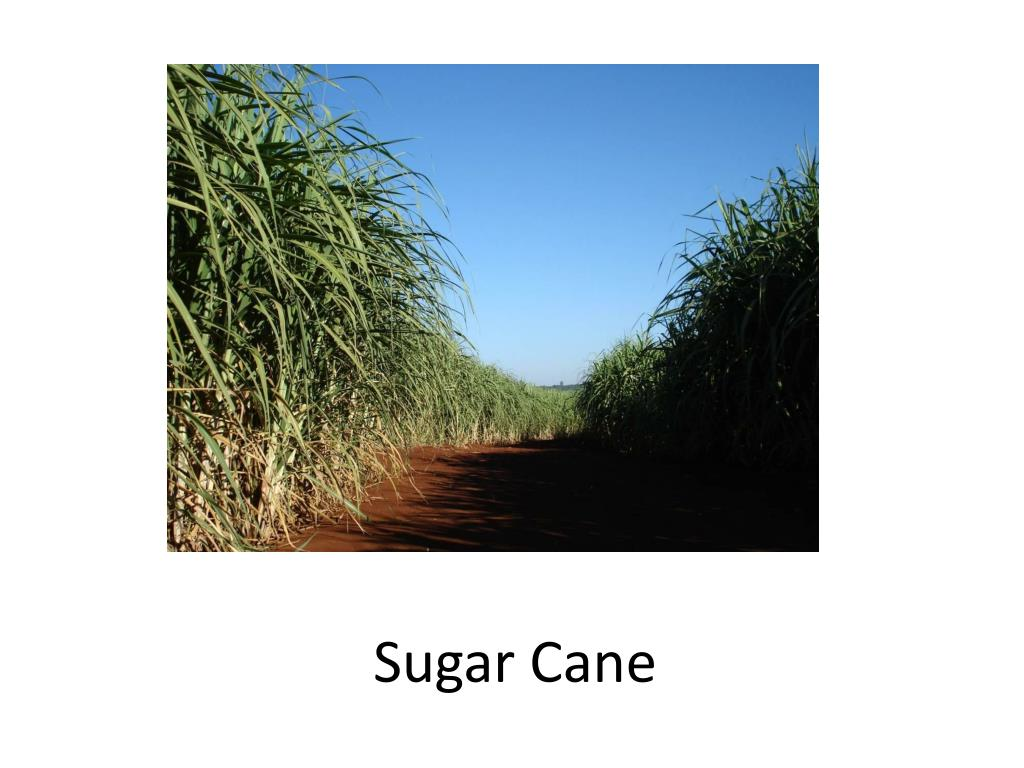 sugar cane l.