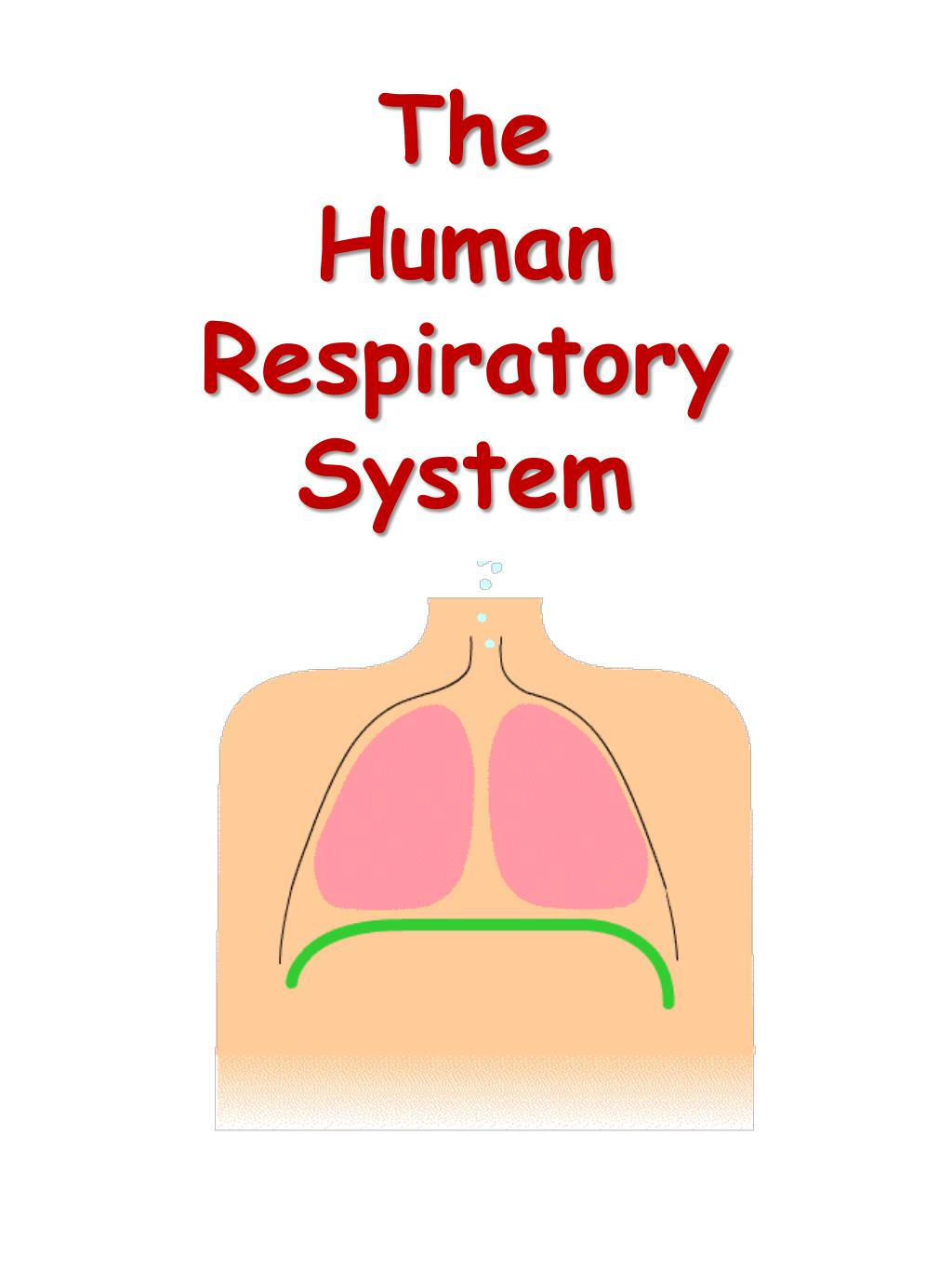 the human respiratory system l.