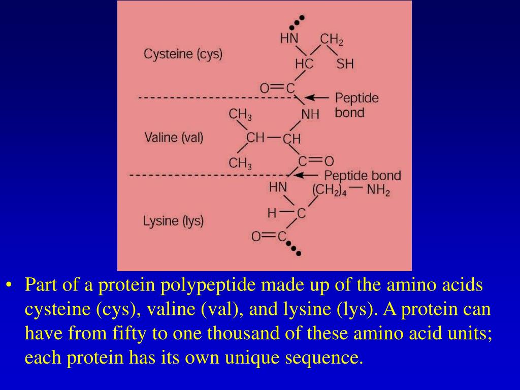 Part of a protein polypeptide made up of the amino acids cysteine (cys), valine (val), and lysine (lys). A protein can have from fifty to one thousand of these amino acid units; each protein has its own unique sequence.