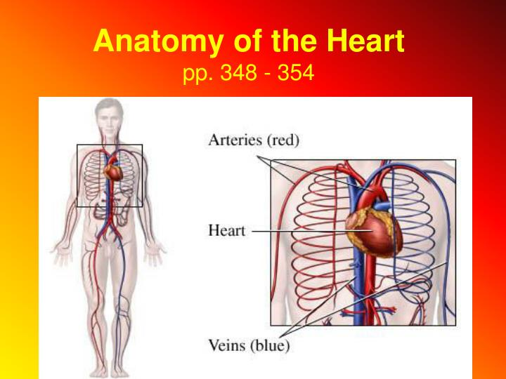 anatomy of the heart pp 348 354 n.