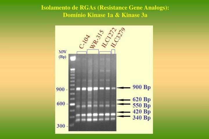 Isolamento de RGAs (Resistance Gene Analogs):