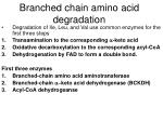 branched chain amino acid degradation