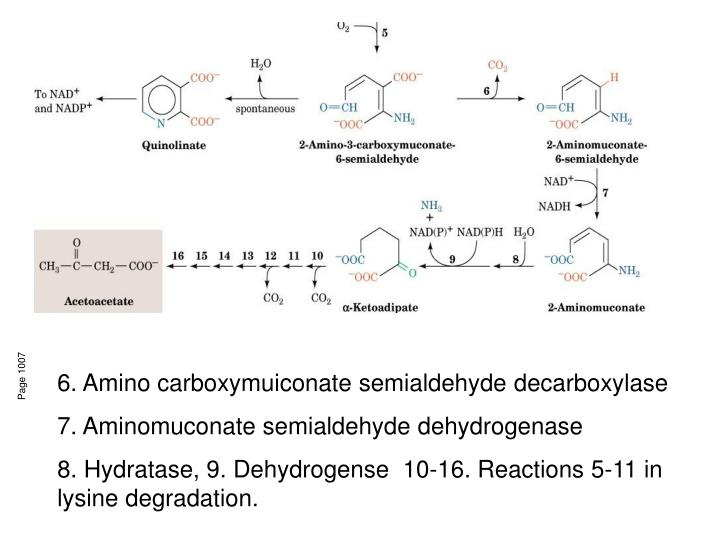 6. Amino carboxymuiconate semialdehyde decarboxylase