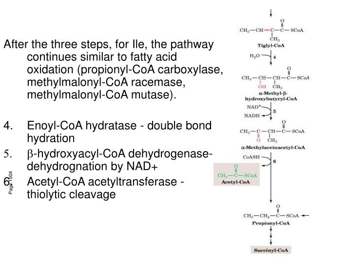 After the three steps, for Ile, the pathway continues similar to fatty acid oxidation (propionyl-CoA carboxylase, methylmalonyl-CoA racemase, methylmalonyl-CoA mutase).