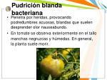 pudrici n blanda bacteriana