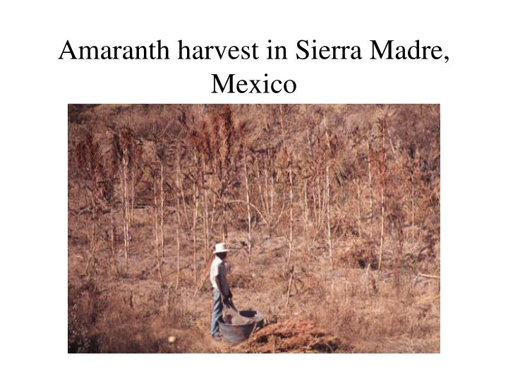 Amaranth harvest in Sierra Madre, Mexico
