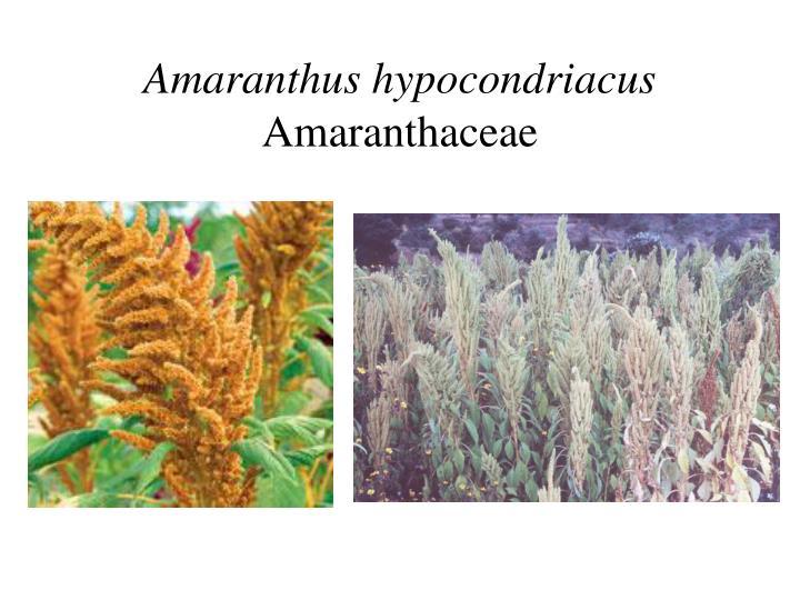 Amaranthus hypocondriacus