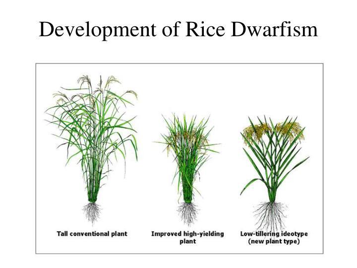 Development of Rice Dwarfism