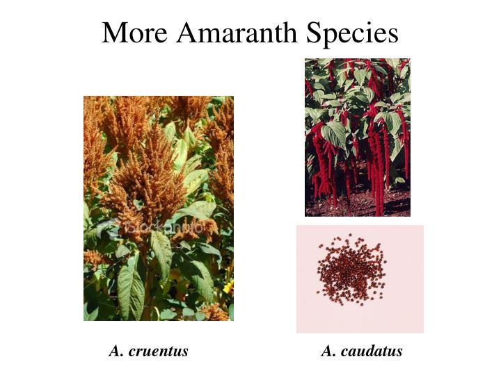 More Amaranth Species