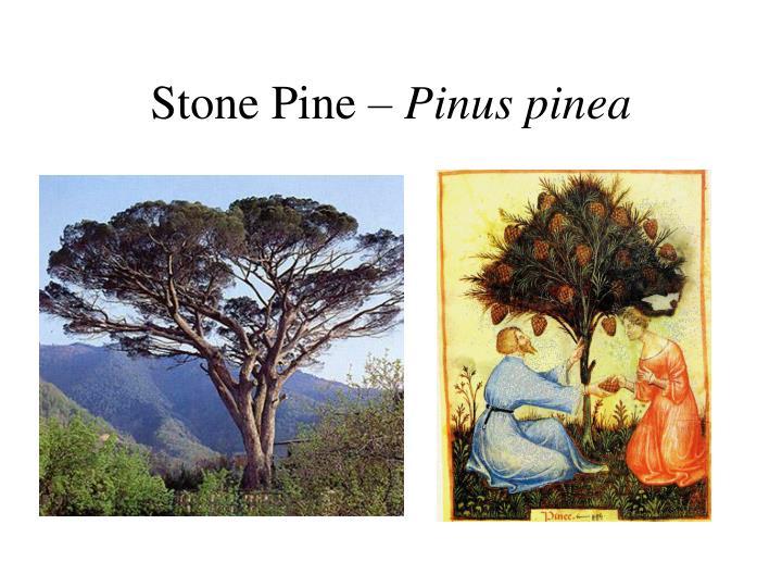 Stone Pine –