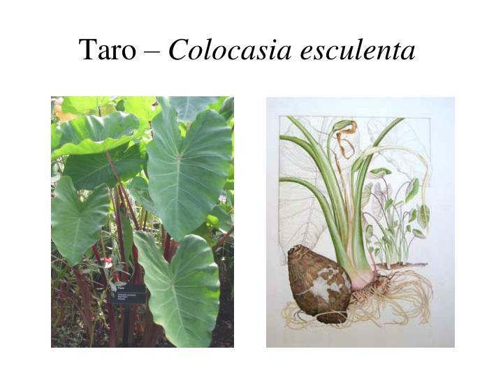 Taro colocasia esculenta