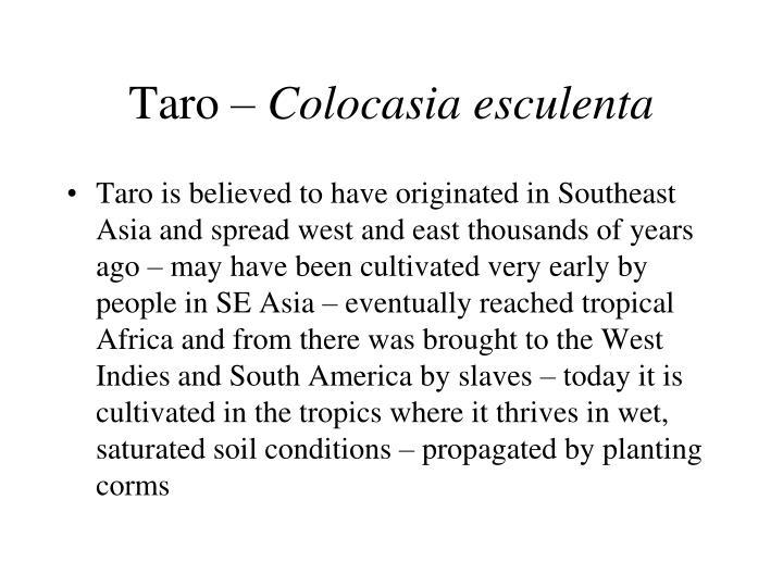 Taro colocasia esculenta1