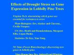 effects of drought stress on gene expression in loblolly pine trees