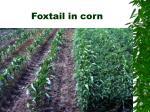 foxtail in corn