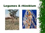 legumes rhizobium