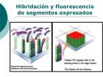 hibridaci n y fluorescencia de segmentos expresados