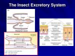 the insect excretory system