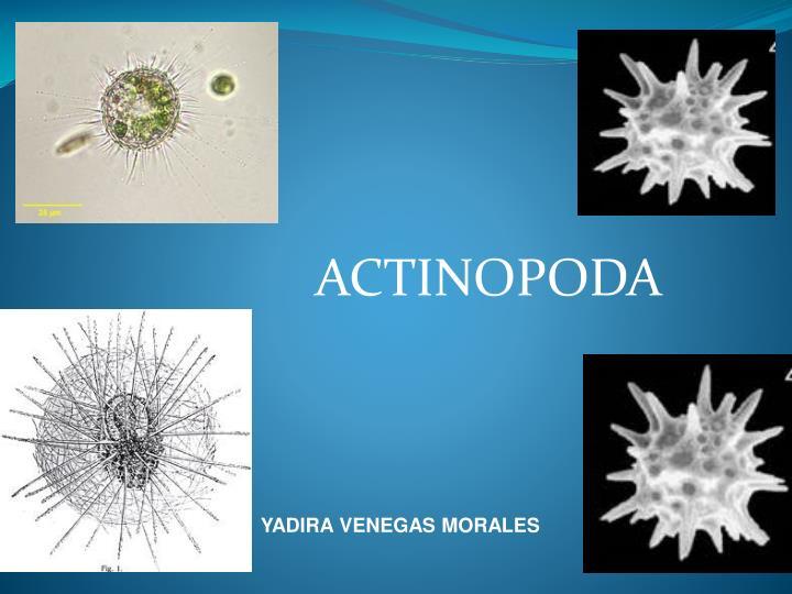 actinopoda n.