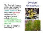 division gnetophyta