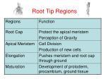 root tip regions