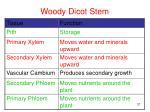 woody dicot stem2