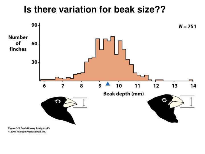 Is there variation for beak size??