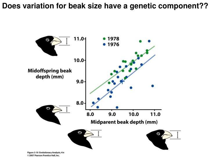 Does variation for beak size have a genetic component??