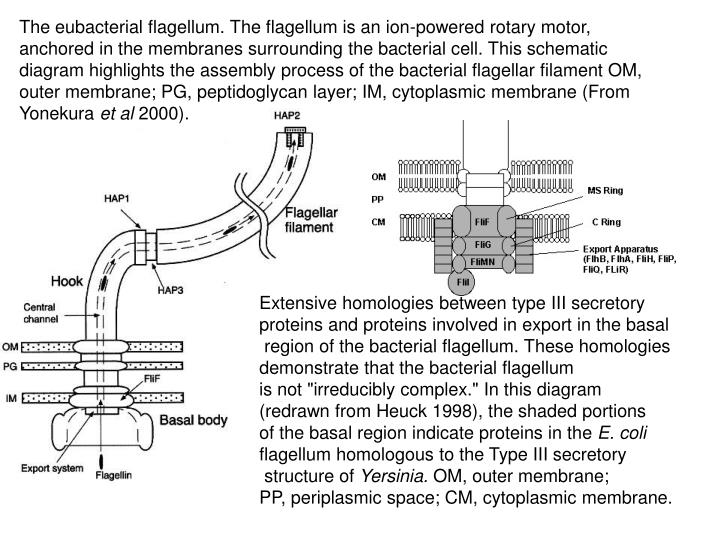 The eubacterial flagellum. The flagellum is an ion-powered rotary motor, anchored in the membranes surrounding the bacterial cell. This schematic diagram highlights the assembly process of the bacterial flagellar filament OM, outer membrane; PG, peptidoglycan layer; IM, cytoplasmic membrane (From Yonekura