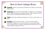 how to grow antique roses