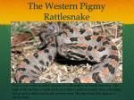 the western pigmy rattlesnake