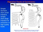 digestive tracts of carnivores
