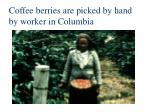 coffee berries are picked by hand by worker in columbia