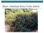 khat stimulant from catha edulis