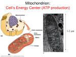mitochondrion cell s energy center atp production