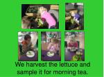we harvest the lettuce and sample it for morning tea