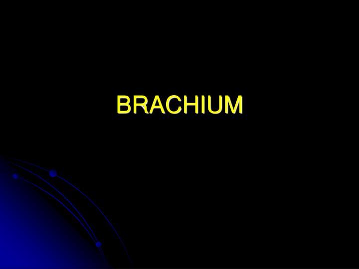 brachium n.