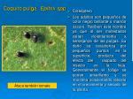 coquito pulga epitrix spp