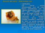 gusano del jojoto helicoverpa zea