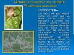 minador peque o del tomate phthorimaea operculella