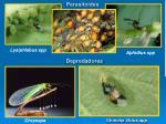 parasitoides
